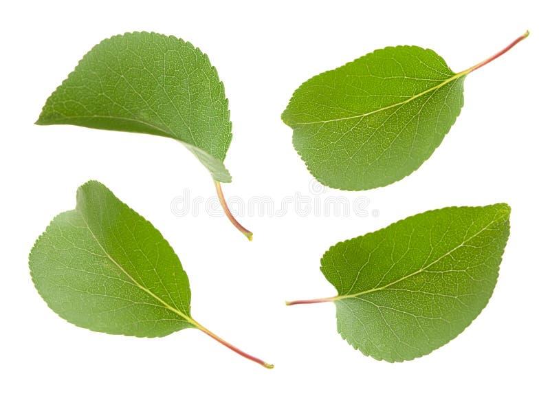 Download Apricot leaf set stock image. Image of plant, fresh, frame - 25541509