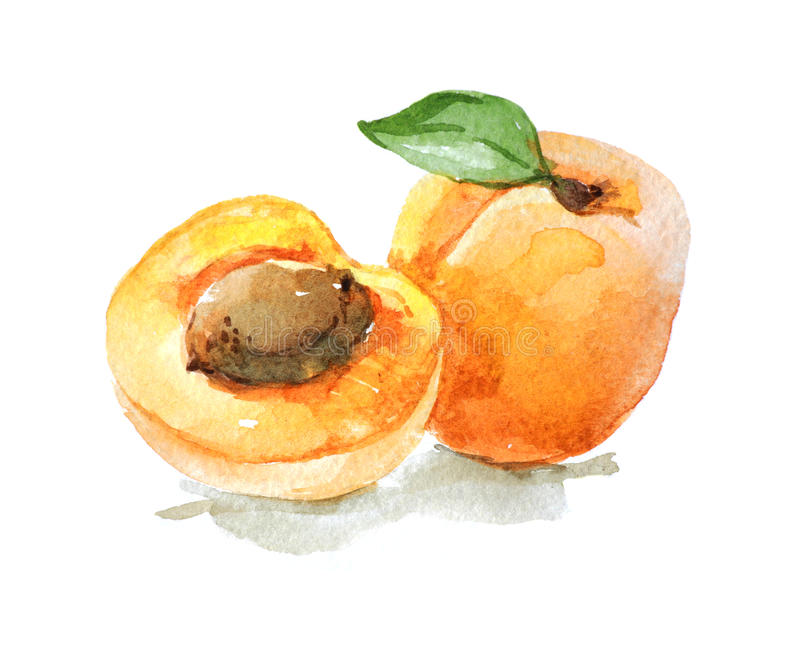 Apricot with leaves, watercolor illustration stock illustration