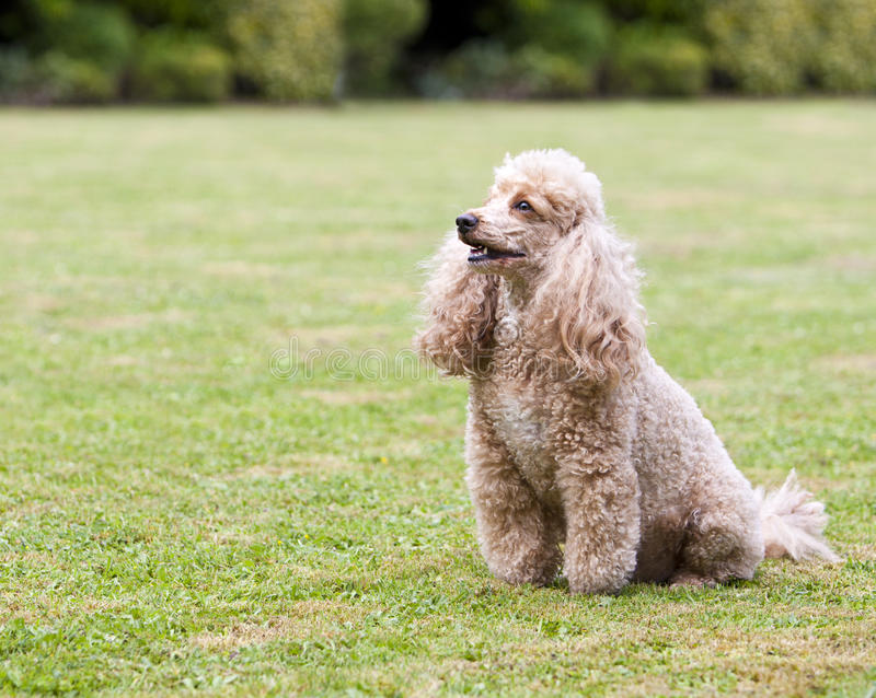 Apricot Miniature French Poodle in the Garden. Shot of an Apricot Miniature French Poodle in the Garden stock photography