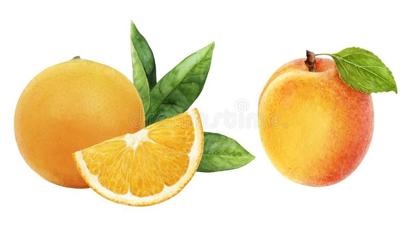 Apricot orange set composition watercolor isolated on white background. Apricot orange set watercolor hand drawn illustration isolated on white background vector illustration
