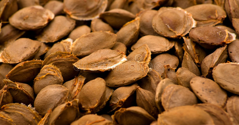 Download Apricot pits stock image. Image of inside, much, dried - 5848925