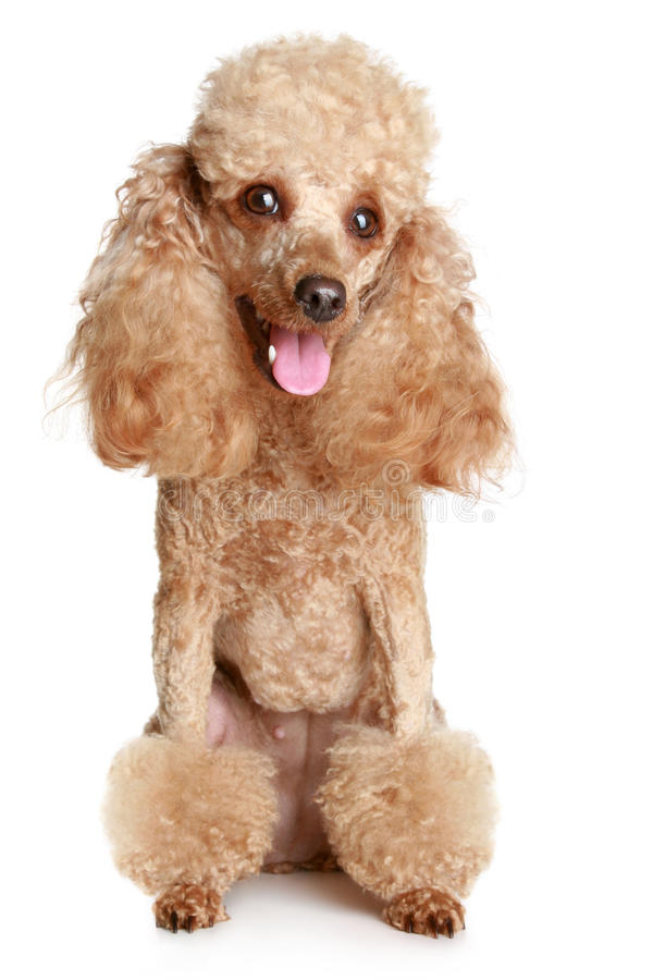 Apricot poodle stock images