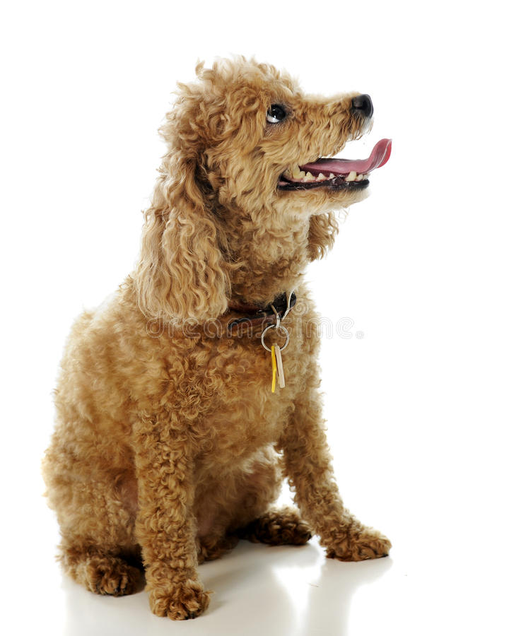 Apricot Poodle royalty free stock image