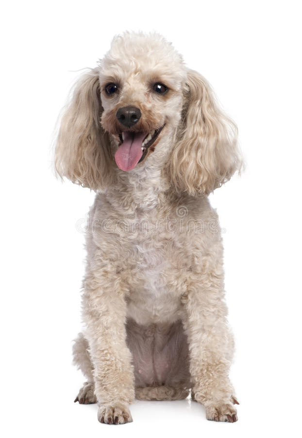 Download Apricot Poodle Panting (5 Years Old) Stock Photography - Image: 9893622