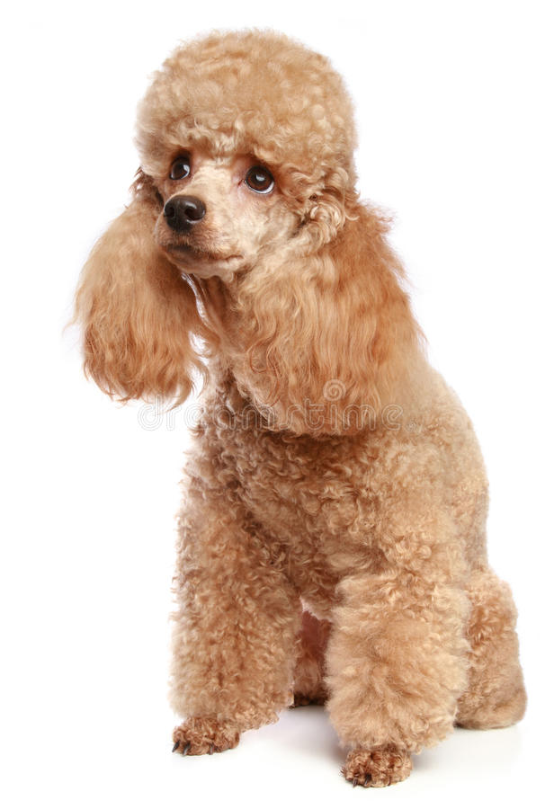 Apricot poodle puppy stock images