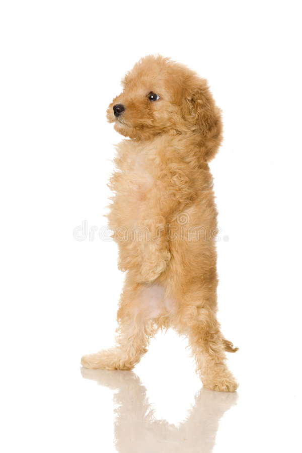 Cute Dog Names For Toy Poodles