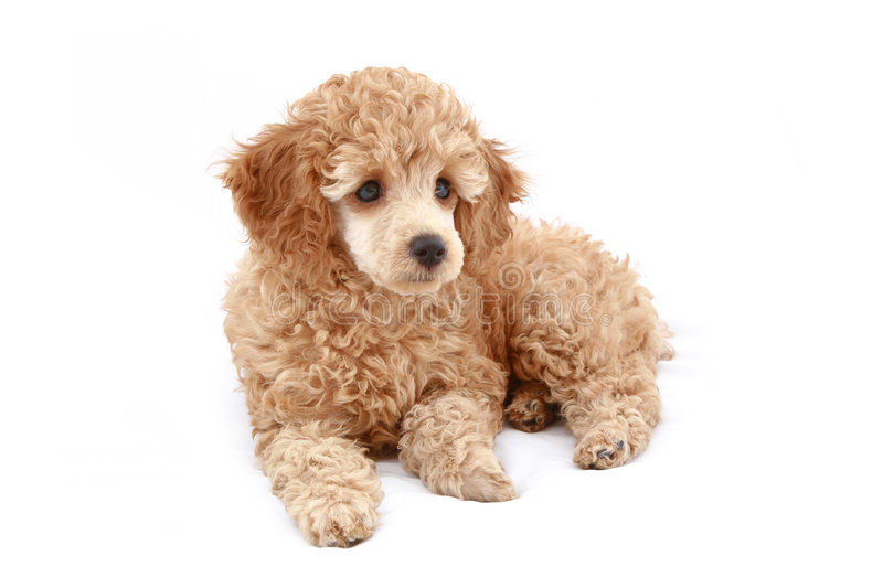 Apricot poodle puppy series. Apricot poodle puppy, isolated on white background royalty free stock photo