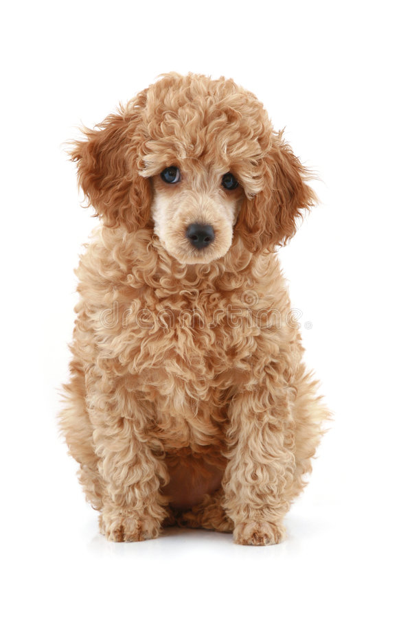 Apricot poodle puppy series. Apricot poodle puppy, isolated on white background stock photo