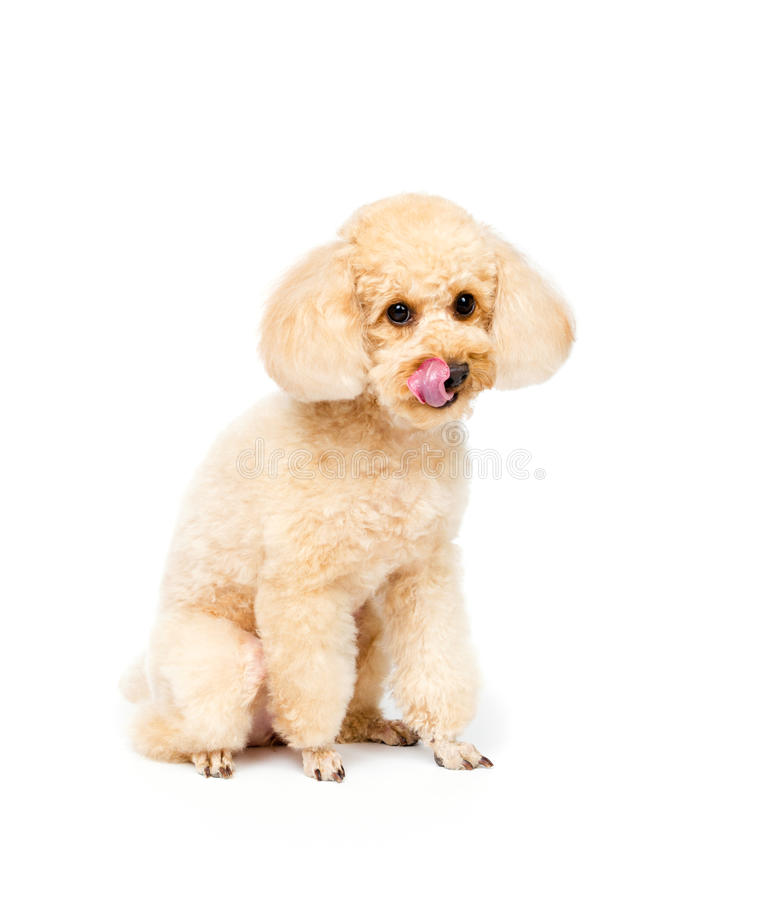 Apricot poodle sits and looks ahead puppy portrait stock photos