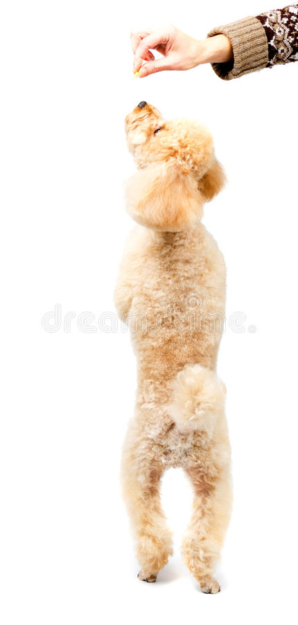 Apricot poodle standing on hind legs and looking up royalty free stock images