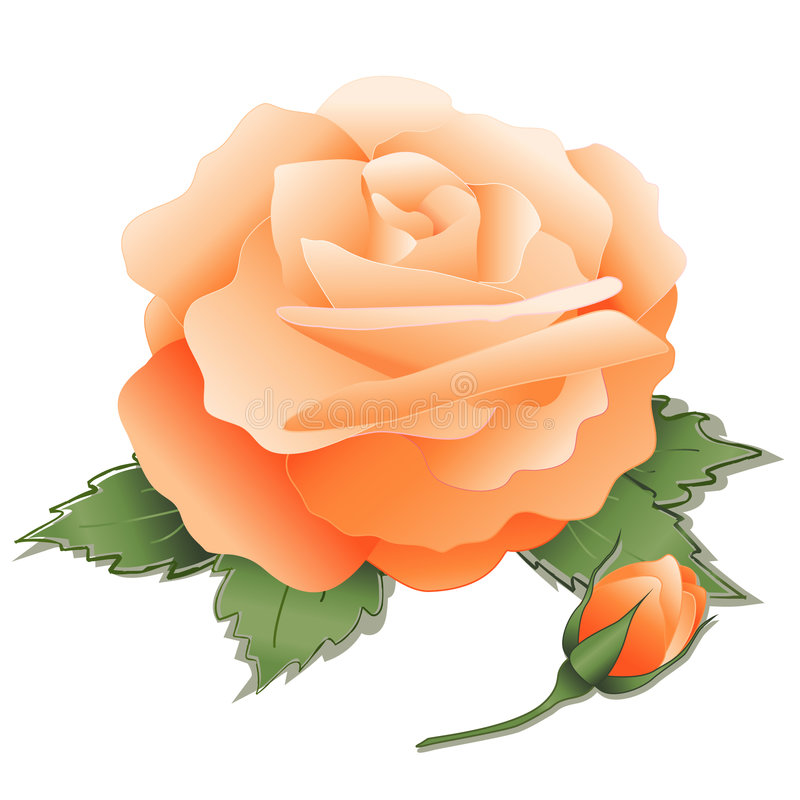Download Apricot Rose and Bud stock vector. Image of horticulture - 4144491
