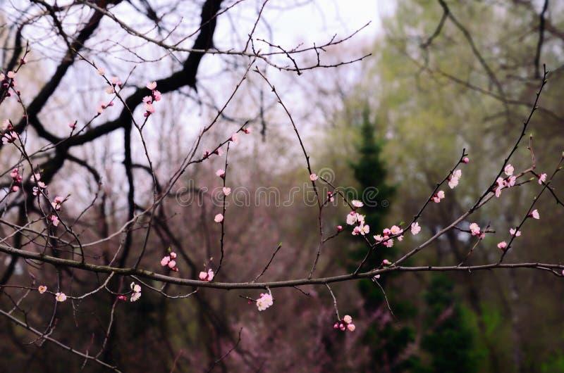 Apricot (Sakura) Spring Blossom in a Japanese Garden royalty free stock photo