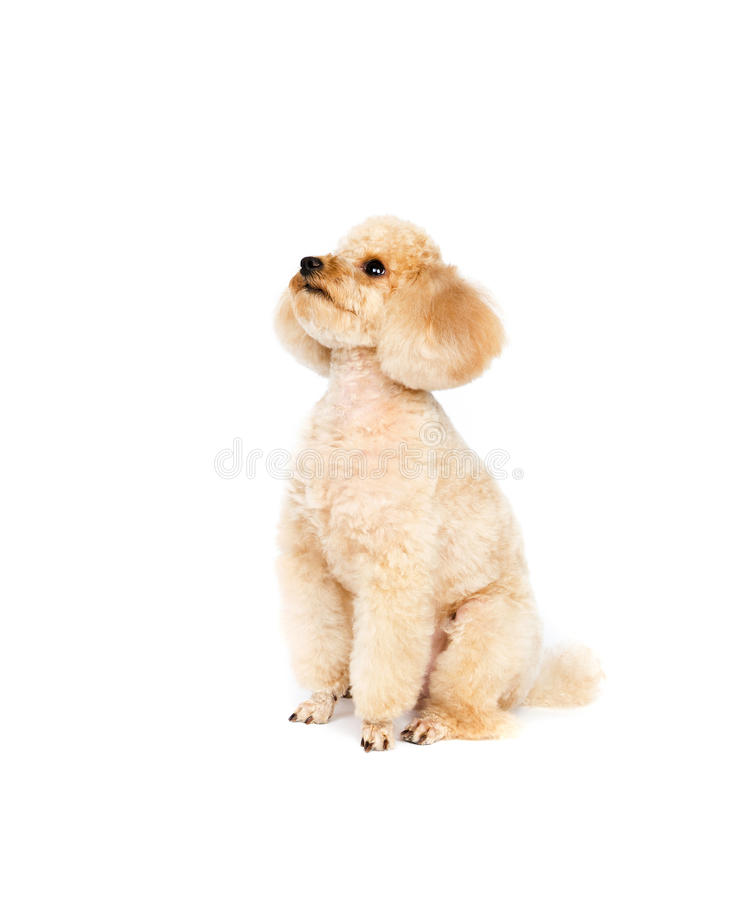 Apricot small poodle sitting on a white background. The dog is looking top stock image
