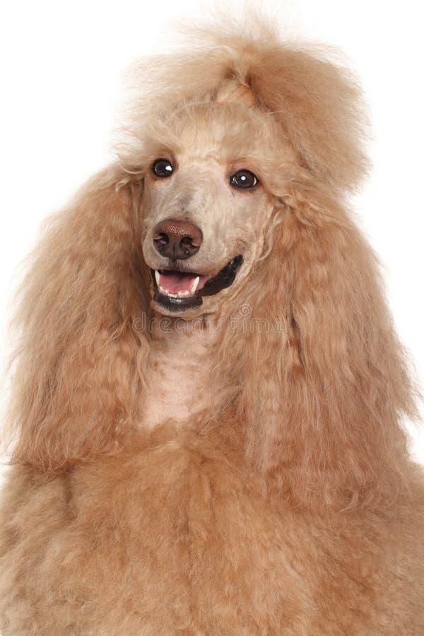 Apricot Standard Poodle portrait stock photos