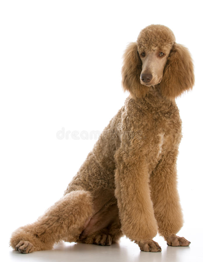 Apricot standard poodle. Portrait on white background stock image