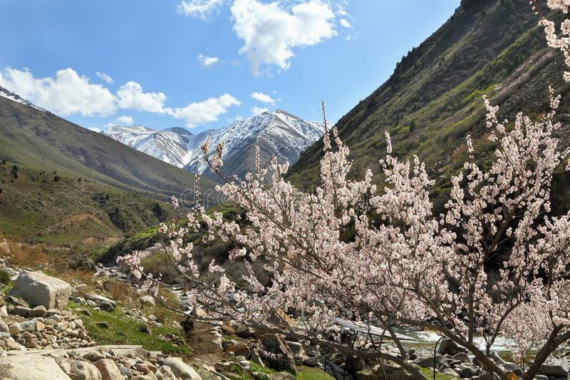 Apricot tree blooms in the mountains. Early spring. snowy mountains and blue sky stock image