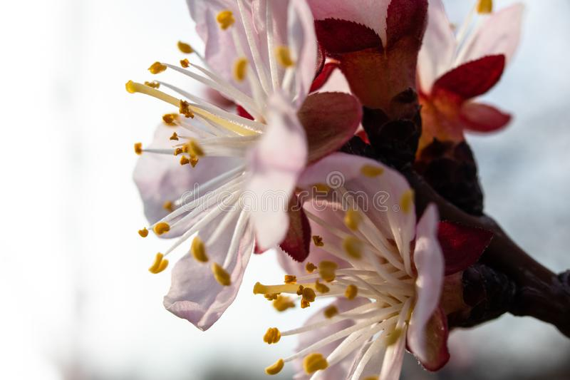 Apricot tree blossom. Macro shot of beautiful spring flowers on apricot tree royalty free stock photos