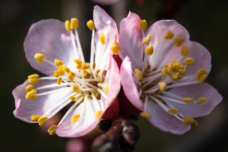 Apricot tree blossom. Macro shot of beautiful spring flowers on apricot tree royalty free stock photography