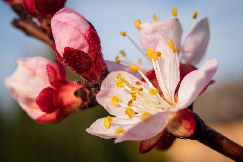 Apricot tree blossom. Macro shot of beautiful spring flowers on apricot tree stock image