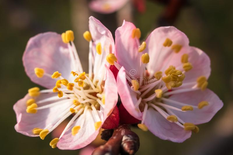 Apricot tree blossom. Macro shot of beautiful spring flowers on apricot tree royalty free stock photo