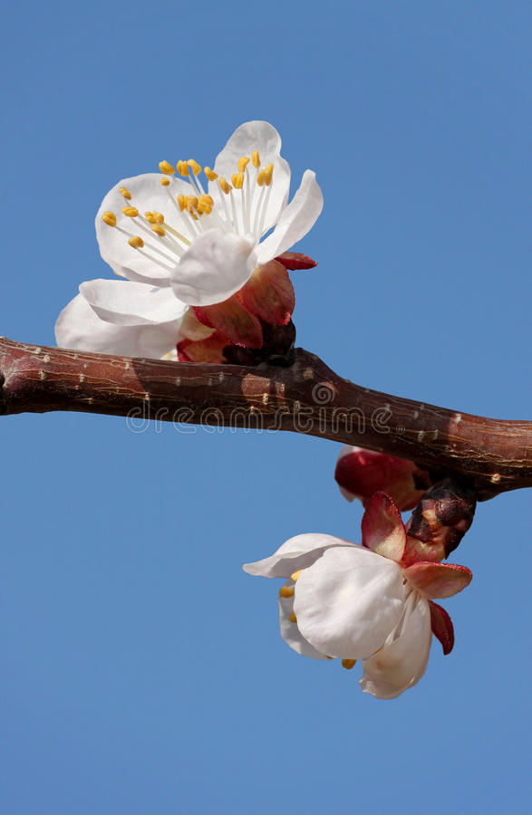 Download Apricot tree blossom stock image. Image of bloom, nature - 30450107