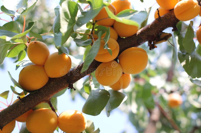 Ripe sweet apricot fruits growing on a apricot tree branch in orchard. stock photo