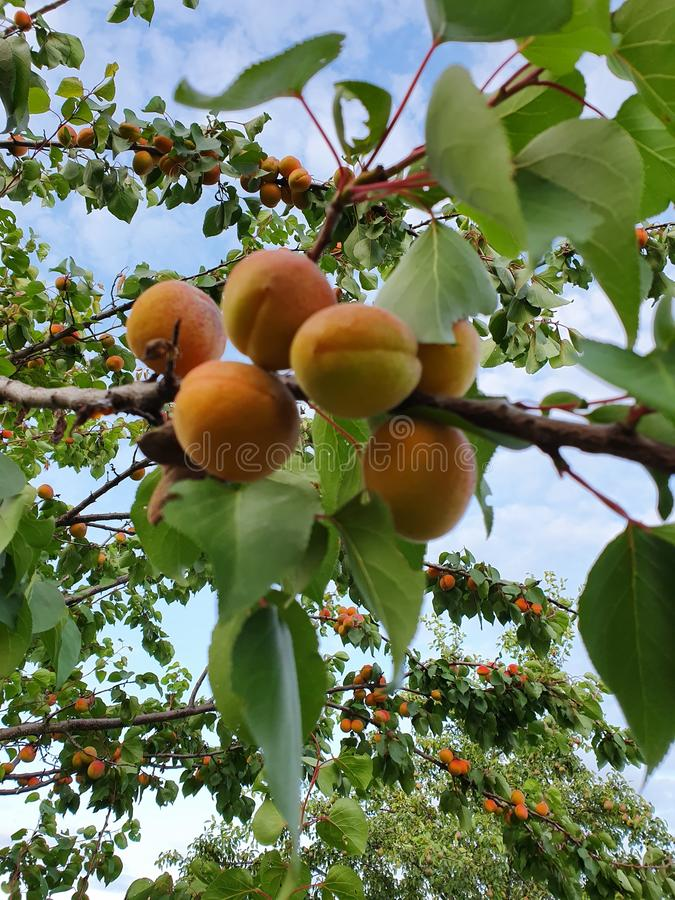 Apricot tree brunch stock image