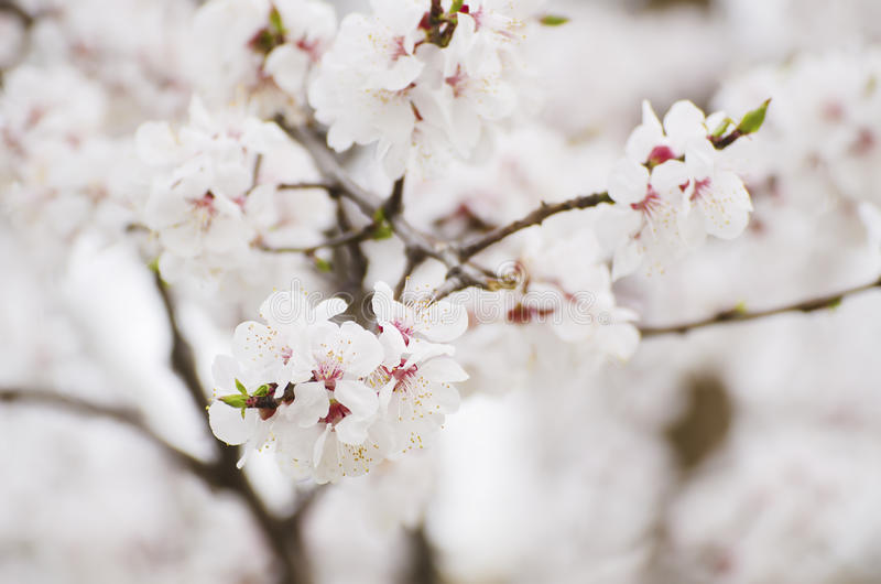 Apricot tree flower stock image