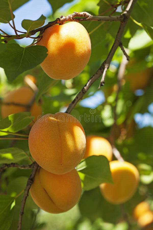 Apricot tree with fruits royalty free stock photos