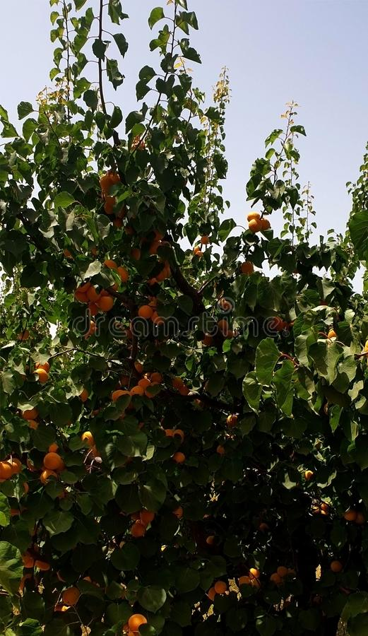 Apricot tree mature. Apricot tree. Mature loves its landscape and shape before the yellow and red apricot, or orange and green berries in their paper crave an royalty free stock photo