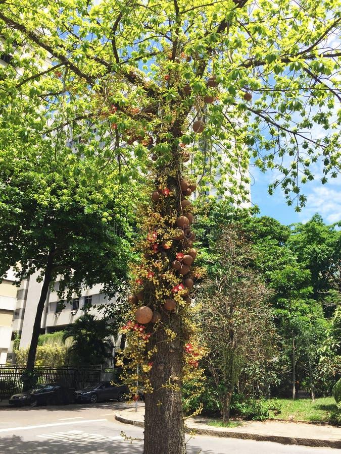 Apricot tree of monkeys Couroupita guianensis royalty free stock photos