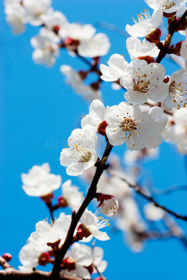 Download Apricot tree over blue sky stock photo. Image of nature - 14856782