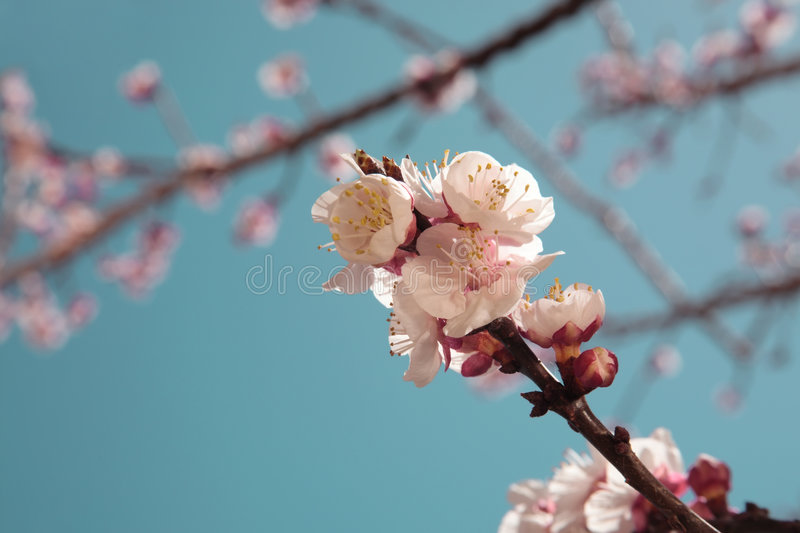 Apricot tree in spring bloom. Shallow DoF royalty free stock photos