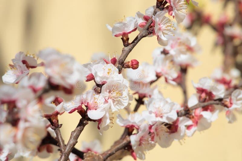 Apricot tree spring bloom. Shallow DoF stock photos