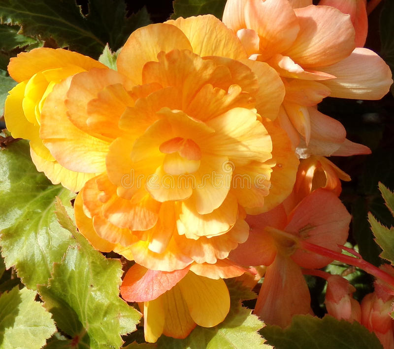 Apricot Yellow Begonia Close Up royalty free stock photography