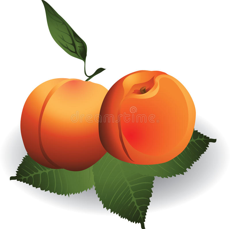 Download Apricots stock vector. Image of ripe, yellow, leafs, objects - 11925962