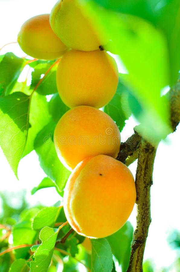 Download Apricots stock photo. Image of orchard, delicious, season - 25538818
