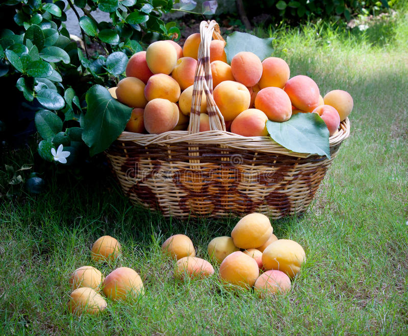 Download Apricots In A Basket Royalty Free Stock Photography - Image: 25647107