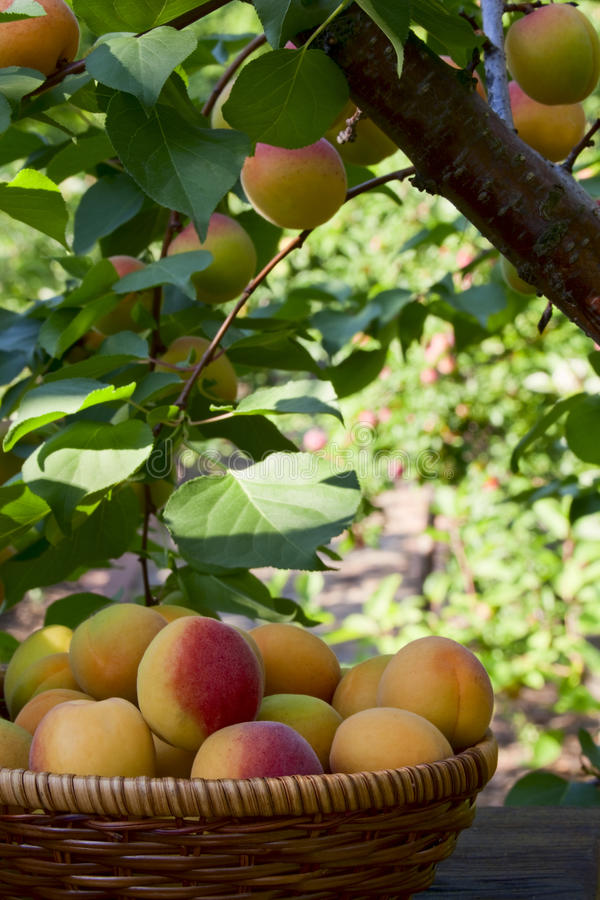 Apricots in a basket royalty free stock images
