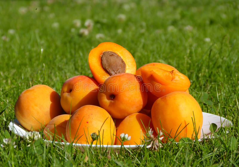 Download Apricots stock image. Image of juicy, harvest, juice - 32423493