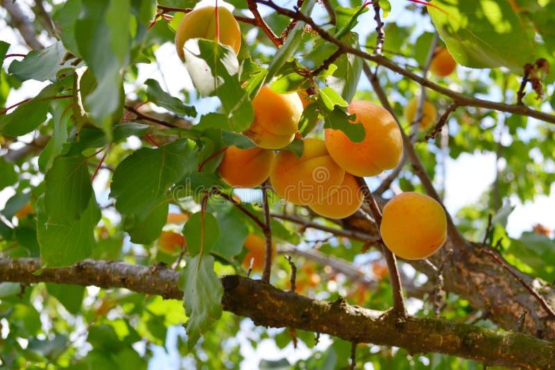 Apricots stock photo