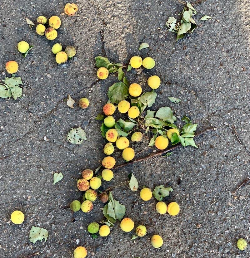 Aprikors på jordningen, frukt för bantar royaltyfri fotografi