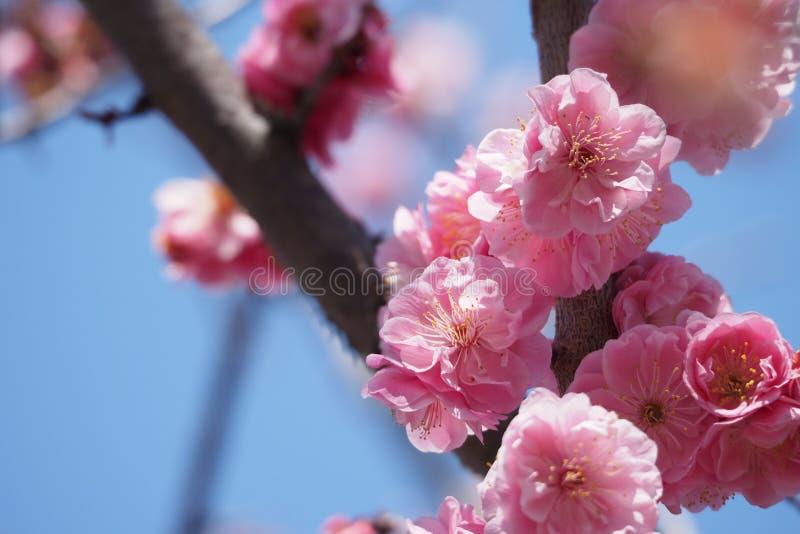 Aprikosblomningar royaltyfri bild