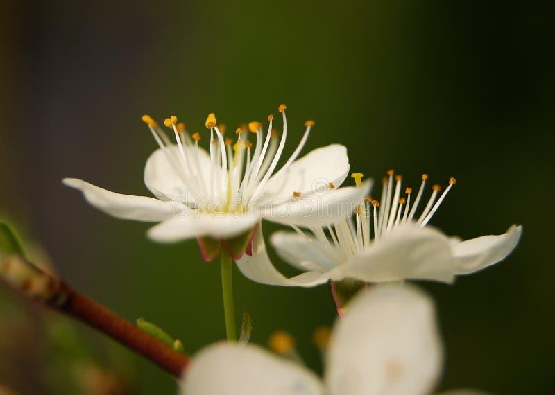 aprikose lizenzfreie stockfotografie