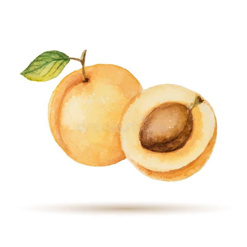aprikose lizenzfreie abbildung