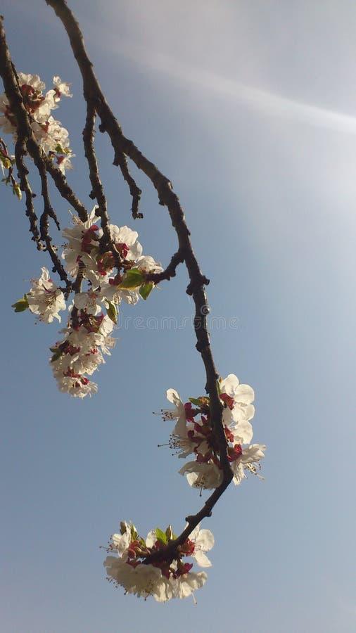 Aprikose-Baumblüte stockfoto