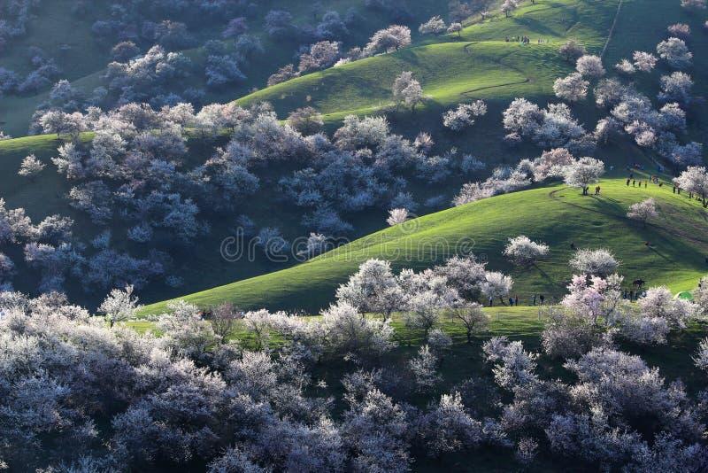 Aprikosen-Abzugsgraben Chinas Sinkiang Yili stockfotografie