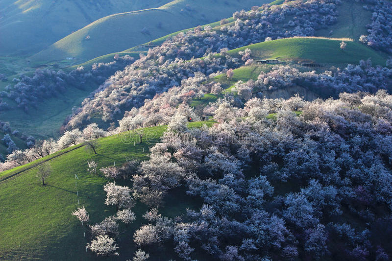 Aprikosen-Abzugsgraben Chinas Sinkiang Yili stockbild