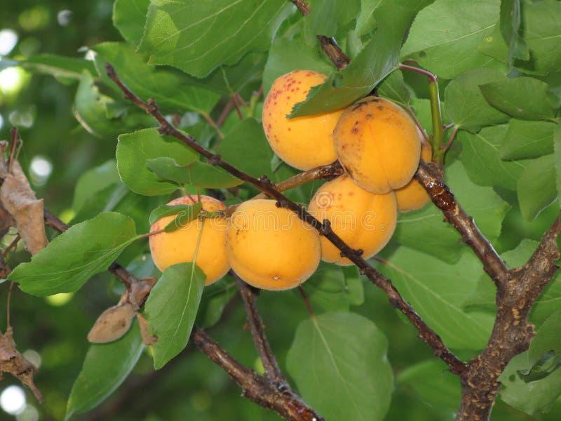 Aprikosen auf einem Baum stockbild