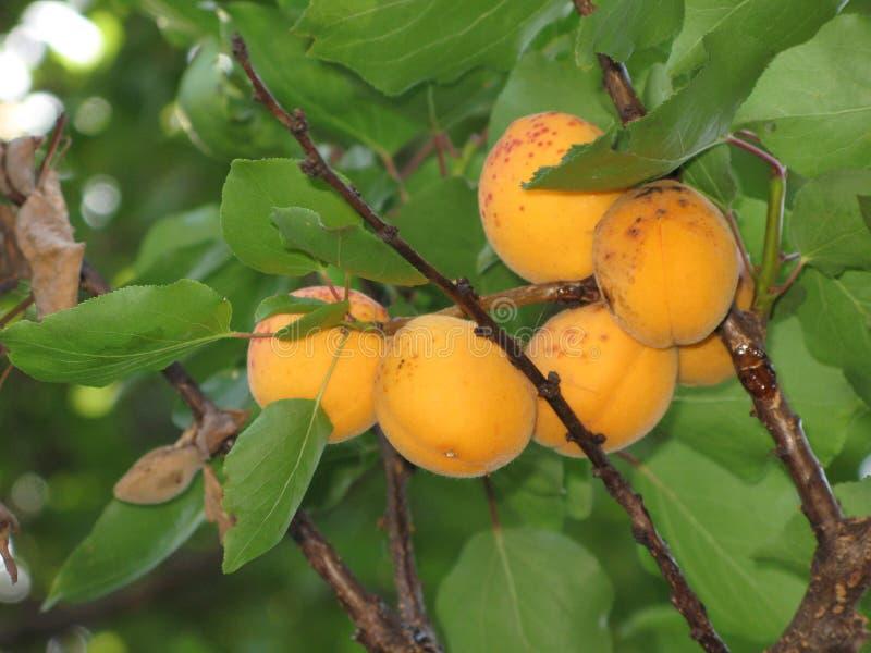 Aprikosen auf einem Baum stockfotografie